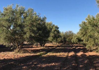 oliveraie05