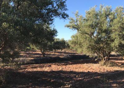 oliveraie01